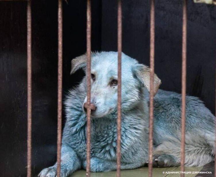 FOTO// Misterul căţeilor albaştri. De ce au această culoare şi cum au apărut în Rusia
