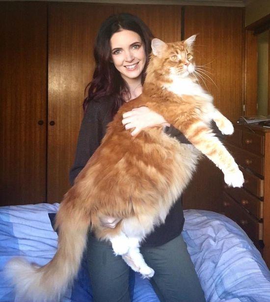 FOTO// Cea mai mare pisică din lume trăieşte în Australia, cântăreşte 15 kilograme şi mănâncă numai carne de cangur